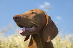 Hungarian Vizsla Headshot Royalty Free Stock Photography