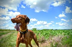 Hungarian Vizsla. 2 Hobbies: taking my dog to a walk and making some sites l shots of him in the nature. I am crazy for dogs. Hungarian Vizslas are the funniest Royalty Free Stock Image