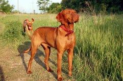 Hungarian vizsla male. Hungarian vizsla dog standing in the meadow Royalty Free Stock Photos