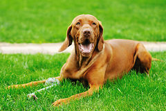 Hungarian vizsla Stock Images