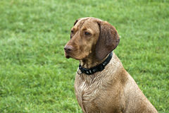 Hungarian vizsla Royalty Free Stock Images