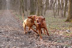 Hungarian vizsla playing Stock Photo