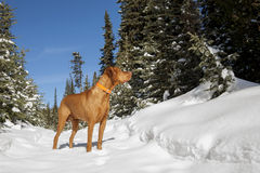 Hunting dog in winter forest Stock Photos