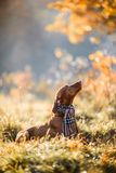 Hungarian Vizsla autumn portrait stock photography