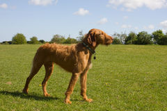 Hungarian Vizsla in a proud stance Stock Photography