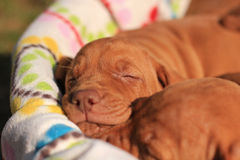 Hungarian Vizsla Puppy. Is sleeping Royalty Free Stock Images
