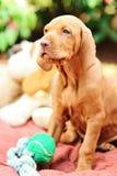 Hungarian vizsla puppy. Sitting small puppy of vizsla on a blanket Stock Photos