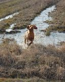 Hungarian vizsla running Royalty Free Stock Image