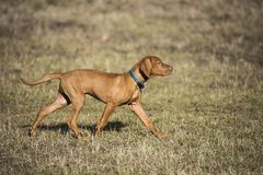 A brown colored vizsla running in a park royalty free stock photo