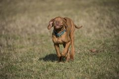 A brown colored vizsla running in a park stock photos
