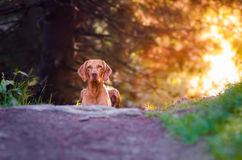 Hungarian Vizsla. Vizsla in summer time in the forrest Royalty Free Stock Photos