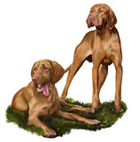 Hungarian Vizsla royalty free illustration