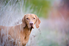 Hungarian Vizsla. In winter time Stock Image