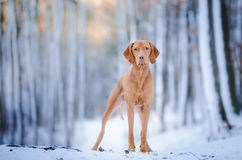 Hungarian Vizsla. In winter time Royalty Free Stock Image