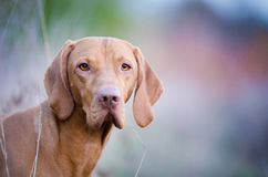 Hungarian Vizsla. In winter time Royalty Free Stock Photos