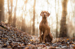 Hungarian Vizsla. In winter time Royalty Free Stock Images