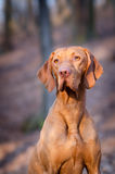 Hungarian Vizsla. In winter time Royalty Free Stock Photography