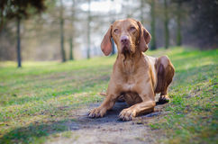 Hungarian Vizsla. In winter time Stock Images