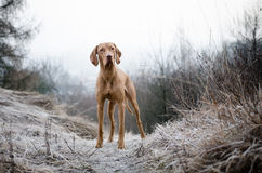 Hungarian Vizsla. In winter time Royalty Free Stock Photo