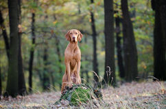 Hungarian Vizsla. Vizsla in winter time in the forrest Royalty Free Stock Photography