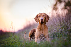 Hungarian Vizsla. Vizsla in winter time in the forrest royalty free stock image