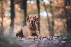 Hungarian Vizsla. Vizsla in winter time in the forrest Stock Photography