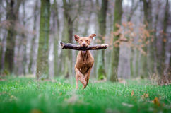 Hungarian Vizsla. Vizsla in winter time in the forrest Royalty Free Stock Images