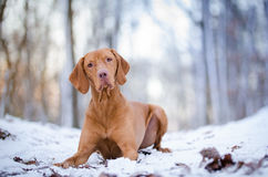 Hungarian Vizsla. Vizsla in winter time in the forrest Stock Image