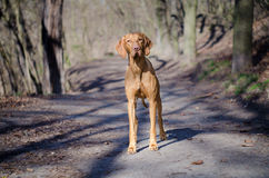 Hungarian Vizsla. Vizsla in winter time in the forrest Stock Images
