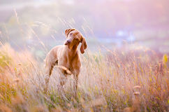 Hungarian Vizsla. Vizsla in winter time in the forrest Stock Photo