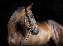 Hungarian Warmblood brown Stock Photo