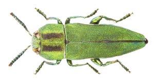 hungarica anthaxia Стоковые Изображения