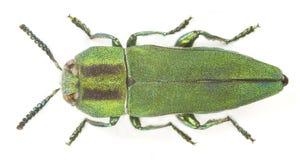 hungarica anthaxia Стоковое Изображение