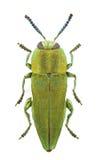 hungarica anthaxia Стоковые Фото