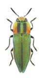 hungarica anthaxia Стоковая Фотография RF