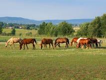 hungary för balatongrazerhästar högland Arkivbilder