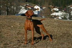 Hungary pointer. A brown hungary short haired pointer dog Stock Photography