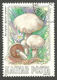 Mushrooms, Agaricus campester Stock Image