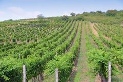 Hungary vineyard. Tokaj, Hungary - wine growing region. Vineyard in summer Royalty Free Stock Image