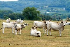 Hungaryan bulls Stock Photography