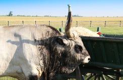 hungaryan grauer Stier stockbilder