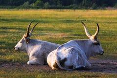 Hungaryan grey bull Stock Photo
