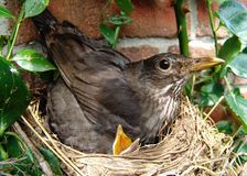 Hunger. Blackbird and blackbirdie in a nest Royalty Free Stock Images