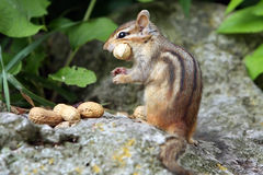 Hunger. Chipmunk with a peanut in her mouth is staring at the camera Royalty Free Stock Images
