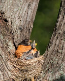 Hunger pains of a frail baby robin. Mother robin tries to keep its babies warm and quiet as hunger pains begin to take over the flock. Eventually, a hungry and Stock Photo