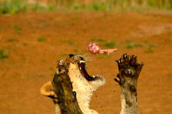 Hunger. A very Hungry lion catching lunch Stock Photography