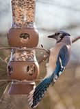 Hungrey Blue Jay Royalty Free Stock Photos