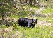 hungrig björn Royaltyfri Foto