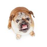 Hungrig bulldogg som ser upp Royaltyfri Bild