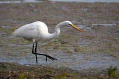 hungrig egret Arkivfoto